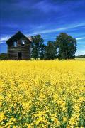 Field Of Crops Posters - Farm House And Canola Field, Holland Poster by Dave Reede
