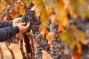 Vino Photos - Farmer Inspecting His Ripe Wine Grapes by Andy Dean