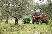 Olive Grove Framed Prints - Farmer Spreading Manure In An Olive Grove Framed Print by Bjorn Svensson