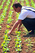 Lettuce Photo Prints - Farmer Tending To Organic Lettuces (lactuca Sp.) Print by Mauro Fermariello