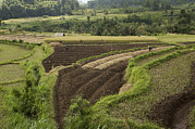 Obscured Face Art - Farmers Working In Their Terraced by Tim Laman