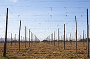 Hops Framed Prints - Farming Trellis For Hops Farming Framed Print by Paul Edmondson