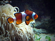 Clown Fish Photos - Fashion Show by Ming Yeung