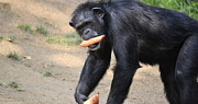 Chimpanzee Glass - Fast Break by Fraida Gutovich