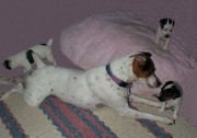 Black And White Jack Russell Terrier Puppies Photos - Father and Babies by Linda Parker