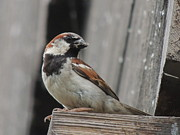 Caretaker. Posters - Father House Sparrow Passer domesticus Bringing Food For His Chicks Poster by JB Photography