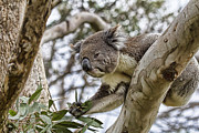 Koala Metal Prints - Favorite Treat Metal Print by Douglas Barnard