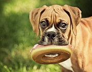 Puppy Metal Prints - Fawn Boxer Puppy Metal Print by Jody Trappe Photography