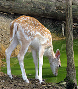 Deer Drinking Water Prints - Fawn Fallow Deer Drinking Water Print by Richard Singleton