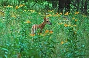 Michael Peychich - Fawn in a field of milkweed