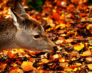 Simon Bratt Photography Posters - Fawn in Autumn Poster by Simon Bratt Photography