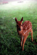 Whitetail Deer Posters - Fawn in Mist Poster by Thomas R Fletcher