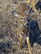 Fawn Photos - Fawn by Linda Pulvermacher