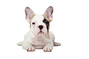 Dog Sitting Prints - Fawn Pied French Bulldog Puppy Print by Mlorenzphotography