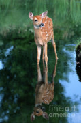 Whitetail Deer Posters - Fawn Reflection Poster by Sandra Bronstein