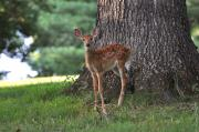 Fawn Photos - Fawn by Todd Hostetter