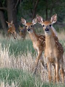 Deer Photo Originals - Fawns Fawns by Bill Stephens