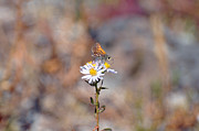 Upper Geyser Basin - Feasting Moth by Bruce Gourley