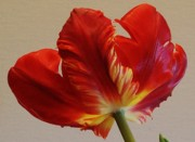 Tulip Bloom Prints - Feather Looking  on Parrot Tulip Print by Marsha Heiken