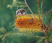 Proteaceae Posters - Feather-tail Glider Acrobates Pygmaeus Poster by Jean-Paul Ferrero