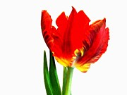 Green Parrot Prints - Feathered Looking Parrot Tulip Print by Marsha Heiken