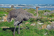 Ostrich Feathers Prints - Feathers by the Sea Wild Female E African Ostrich Southern Race Cape of Good Hope South Africa Print by Jonathan Whichard