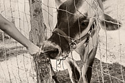 Cow Photo Posters - Feeding Baby Cow On Farm Poster by Tracie Kaska