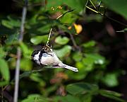 Intent Framed Prints - Feeding Black-capped Chickadee Framed Print by Al  Mueller