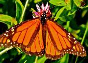 Feeding Butterfly Print by Debra     Vatalaro