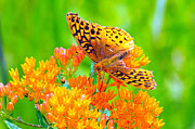 Butterfly On Flower Prints - Feeding Butterfly Print by Paul Ward