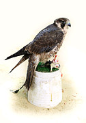 Qatar Framed Prints - Feeding falcon Framed Print by Paul Cowan