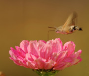 Feeds Prints - Feeding Hummingbird Hawkmoth  Print by Cliff  Norton