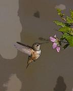 Feeding Rufus Hummingbird- Abstract Print by Tim Grams