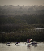 Feeding Photographs Prints - Feeding Spoonbills - Florida Wetlands Scene Print by Rob Travis