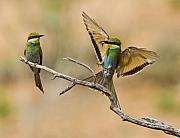 Flying Bird Originals - Feeding Swallow-tailed Bee-eaters by Basie Van Zyl