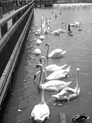 Monochrome Acrylic Prints - Feeding Swams by Roberto Alamino