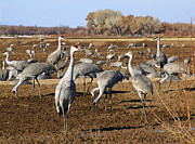 Cranes Prints - Feeding Time Bosque Del Apache Print by Kurt Van Wagner