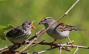 Sparrow Metal Prints - Feeding Time Metal Print by Bruce J Robinson