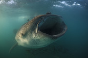 Large Mouth Prints - Feeding Whale Shark, La Paz, Mexico Print by Todd Winner