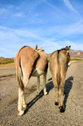 Burros Metal Prints - Feelin a Little Behind Metal Print by Kristin Elmquist
