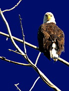 Eagle Metal Prints - Feeling Like Prey Metal Print by Emily Stauring