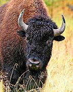 Bison Photos - Feeling Pretty by LaMarre Labadie