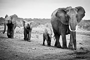 Black And White Animal Posters - Female African Elephant Poster by Cedric Favero