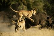 Groups Of Animals Metal Prints - Female African Lions Pounce On An Metal Print by Beverly Joubert