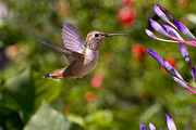 Bromeliad Posters - Female Allens Hummingbird Poster by Mike Herdering