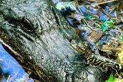Alligators Photos - Female American Alligator And New Born by Philippe Henry
