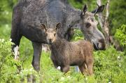Calves Prints - Female And A Three Weeks Old Moose Print by Philippe Henry