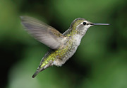 Mid Air Prints - Female Annas Hummingbird In Flight Print by Barbara Rich