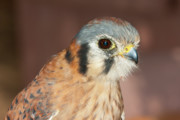 Beautiful Creature Posters - Female Arizona Perigrin Falcon Poster by Steven Love