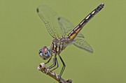Dragonflies Art - Female Blue Dasher Dragonfly by Bonnie Barry